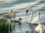 Cisnes en el agua con sus polluelos