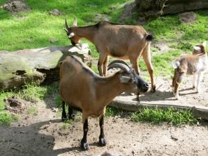 Cabras marrones