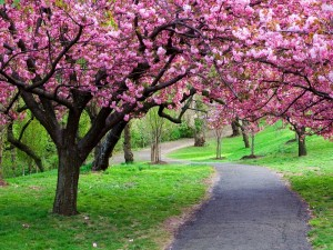 Hermoso paseo entre árboles en flor