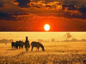 Cebras en la sabana africana al atardecer
