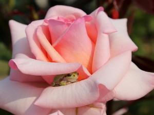 Rana entre los pétalos de una rosa color rosa