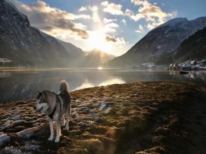 Perro de raza husky junto a un lago al amanecer
