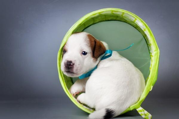 Cachorro Jack Russell terrier sentado en un anillo verde