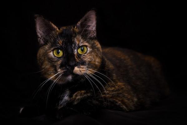 Gato tricolor con ojos amarillos