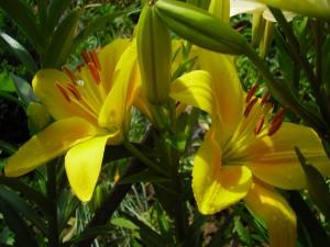 Lirios amarillos con gotas de agua