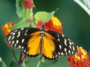 Mariposa con las alas desplegadas