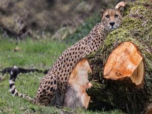 Guepardo junto a un robusto tronco