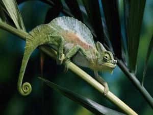 Un camaleón caminando sobre una rama