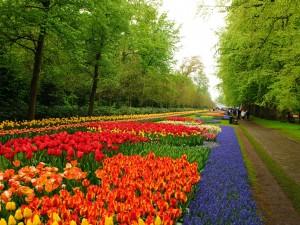 Contemplando hermosos tulipanes en un gran jardín