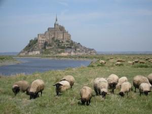 Ovejas pastando cerca del Monte Saint-Michel