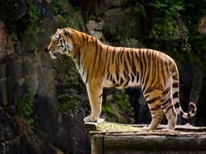 Tigre observando desde un mirador