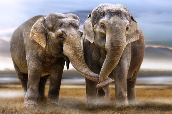 Elefantes con las trompas entrelazadas