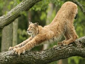 Lince estirándose sobre un tronco