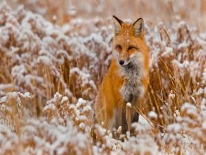 Un zorro entre plantas cubiertas de nieve