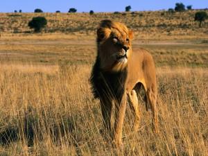 Sol iluminando a un león