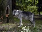 Un lobo gris en el bosque