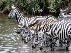 Grupo de cebras bebiendo agua