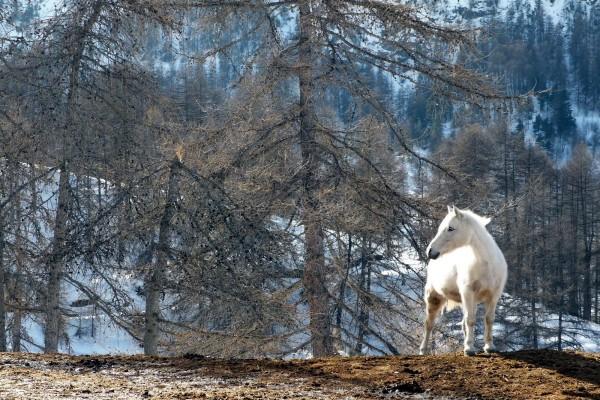 Un caballo blanco viviendo en libertad