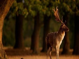Un hermoso ciervo contemplando el atardecer