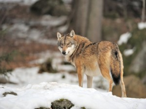 Un lobo quieto sobre la nieve