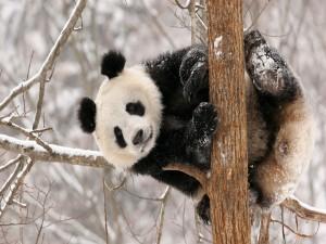 Oso panda sobre las ramas nevadas de un árbol