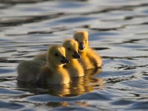 Tres patitos en el agua
