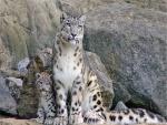 Leopardo de las nieves cuidando a su cachorro