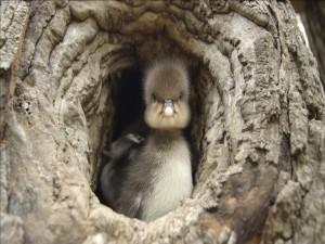 Patito dentro del hueco de un árbol