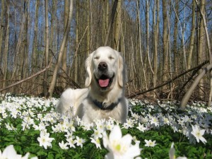 Perro descansando entre flores blancas