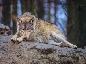 Lobo tumbado en una roca