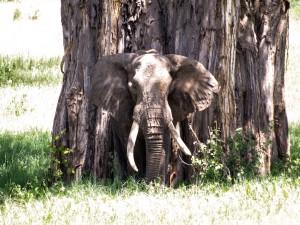 Elefante junto a un gran árbol
