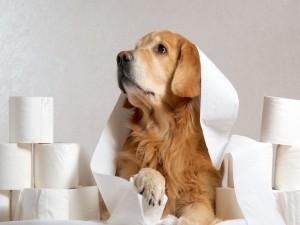 Golden retriever tumbado entre rollos de papel higiénico