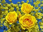 Rosas amarillas entre unas ramas con pequeñas flores