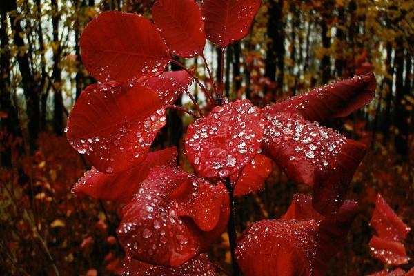 Gotitas de agua sobre unas hojas rojas
