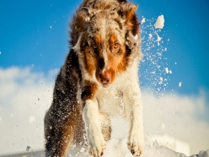 Pastor australiano corriendo sobre la nieve