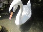 Cisne blanco con una gota de agua colgando del pico