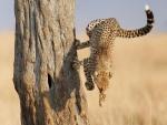 Salto acrobático de un guepardo para bajar de un árbol