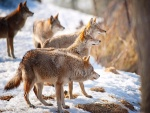Manada de lobos vista en invierno