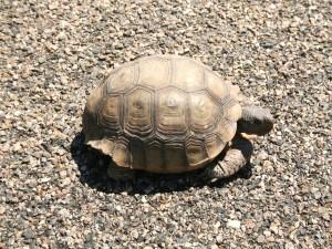 Tortuga caminando sobre un pavimento de pequeñas piedras