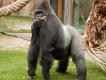 Gorila con fibras de palmera en la boca