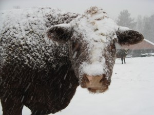 Vaca cubierta de nieve