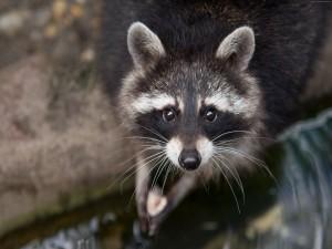 Luz reflejada en los ojos de un mapache