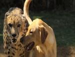 Perro junto a un guepardo
