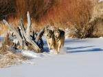 Dos lobos caminando juntos sobre la nieve