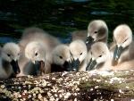 Grupo de pequeños cisnes alimentándose