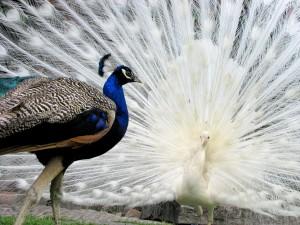 Pavo real caminando junto a un pavo real blanco