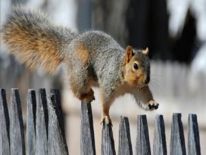 Ardilla caminando sobre una valla de madera