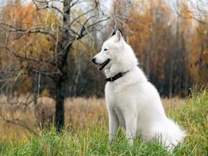 Un hermoso perro blanco sentado en la hierba
