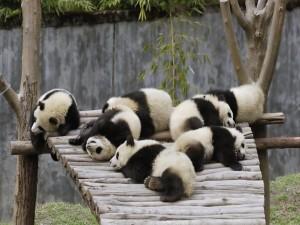 Postal: Osos panda dormidos sobre una plataforma