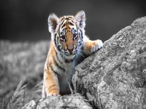 Cachorro de tigre sobre unas rocas